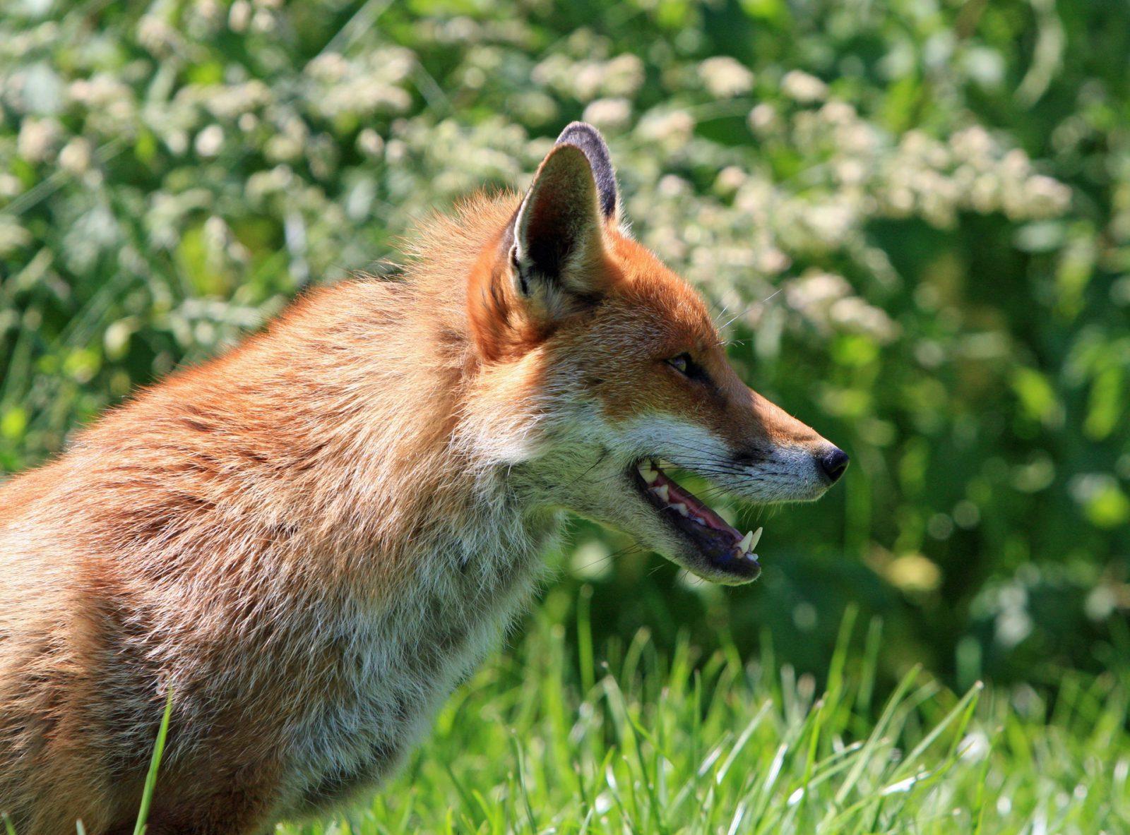 Sonhar com raposa sendo pega é aviso de que alguém planeja te enganar.