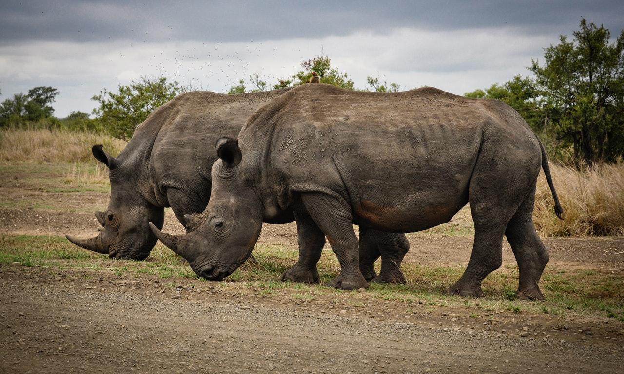 Sonhar com rinoceronte em seu habitat selvagem sinaliza que você vai superar todos os medos da vida.