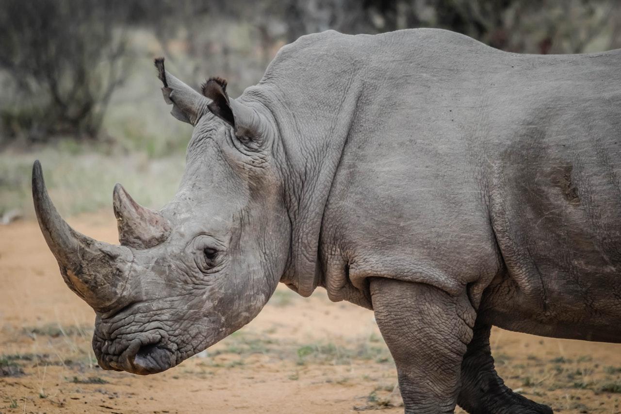 Sonhar com rinoceronte branco sugere a aquisição de bens materiais.