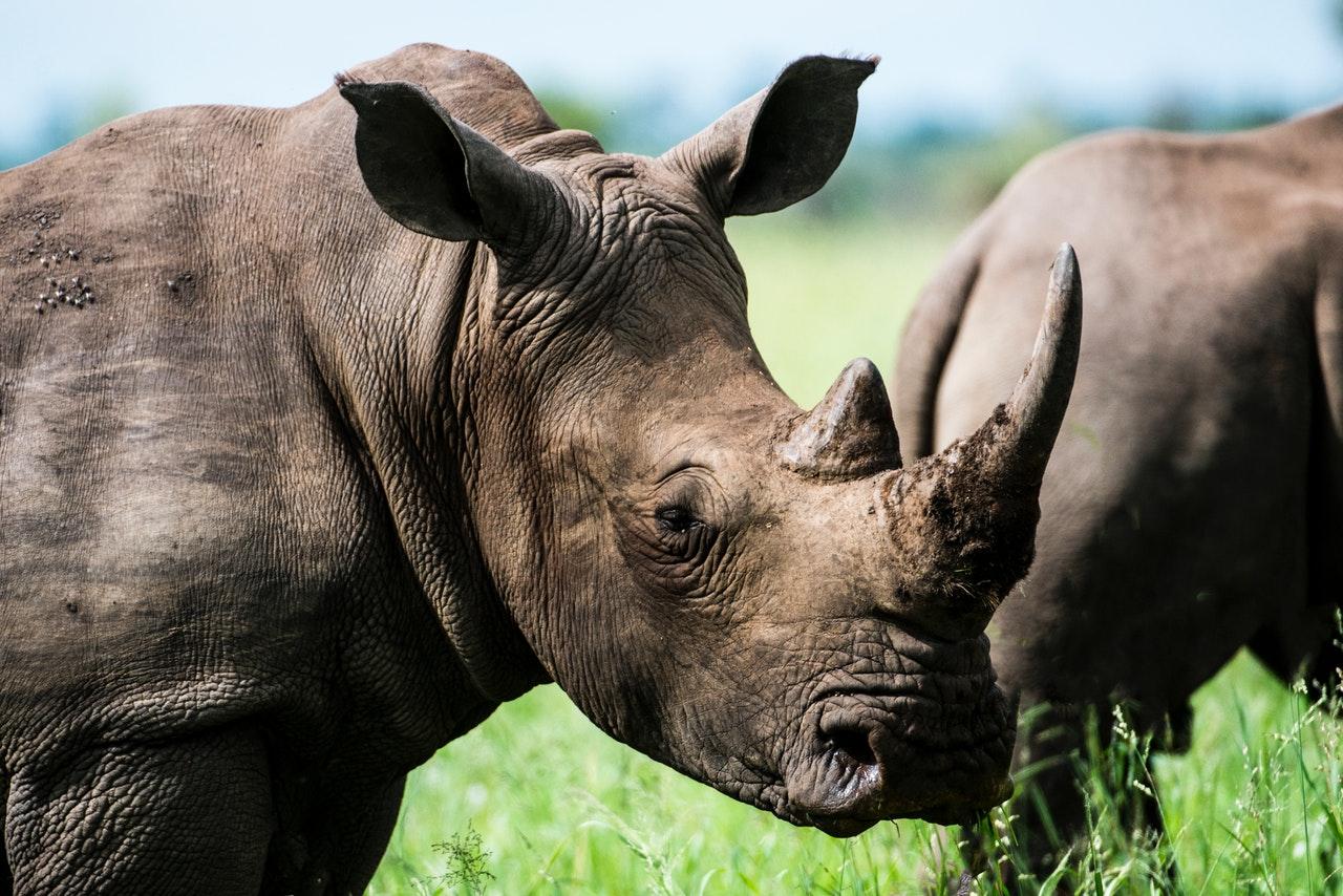 Sonhar com rinoceronte em bando é sinal de sentimento de pertencimento a um grupo
