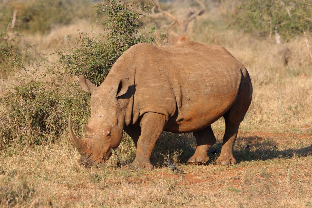 Sonhar com rinoceronte bloqueando o caminho é sinal de grandes problemas.