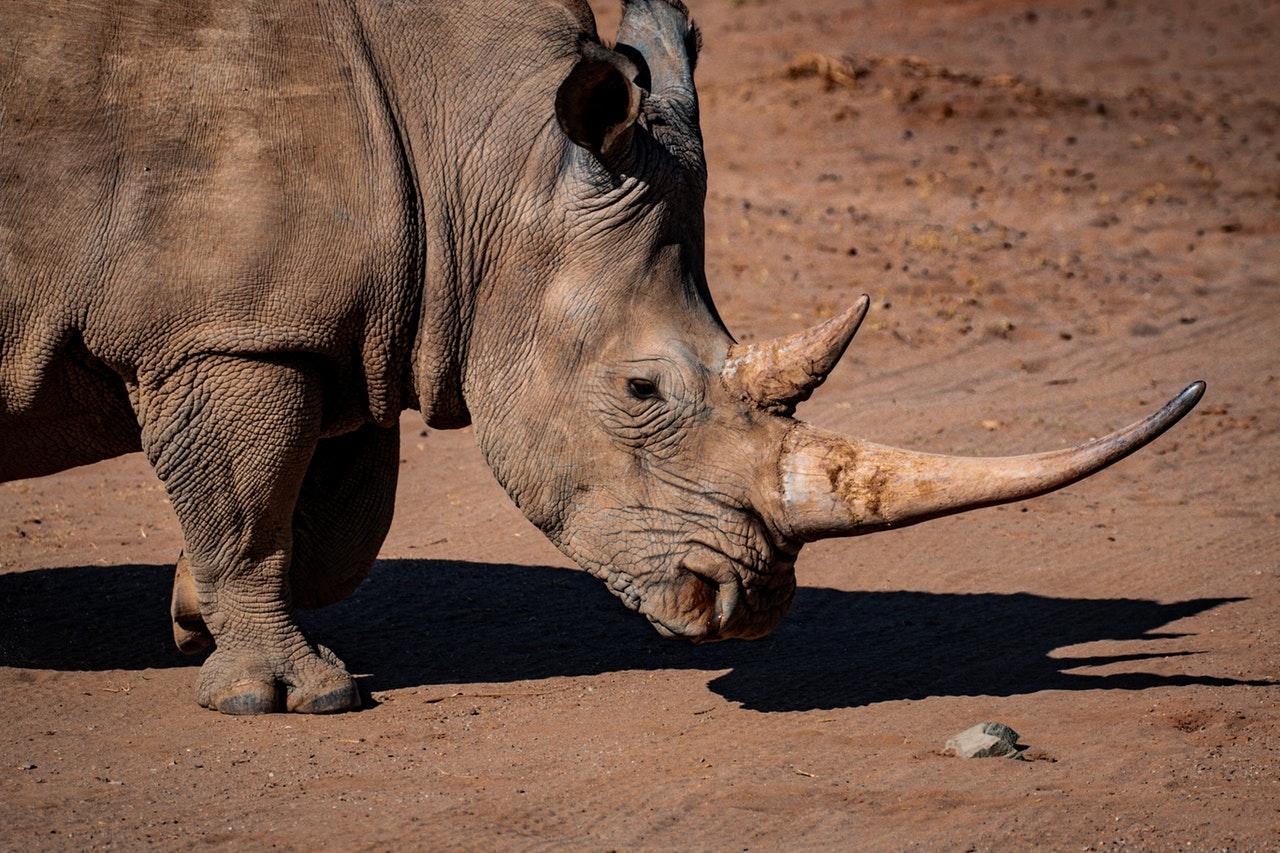 Sonhar com rinoceronte é sinal de paciência e perseverança