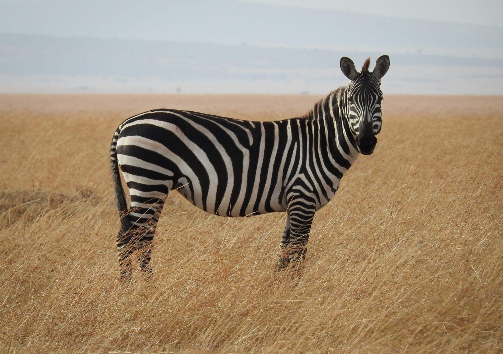 Sonhar com zebra é sinal de atração entre opostos