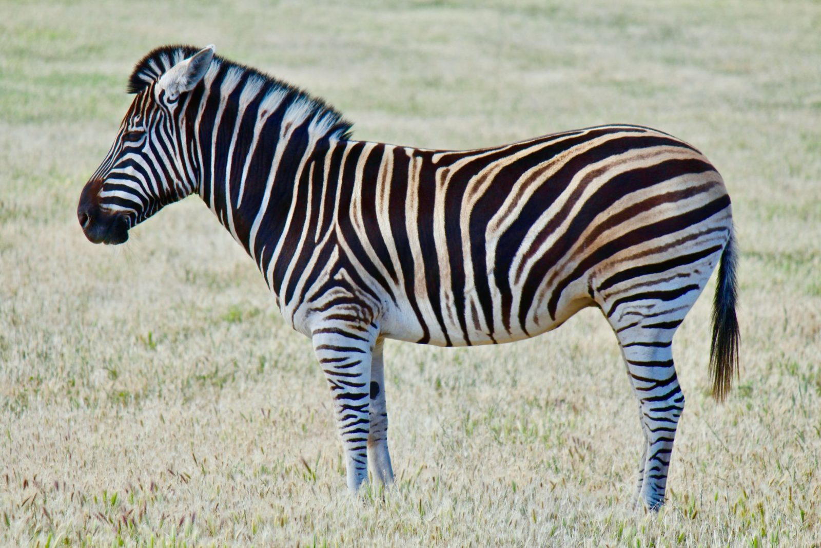 Sonhar com zebra é sempre sinal de sorte e viagens