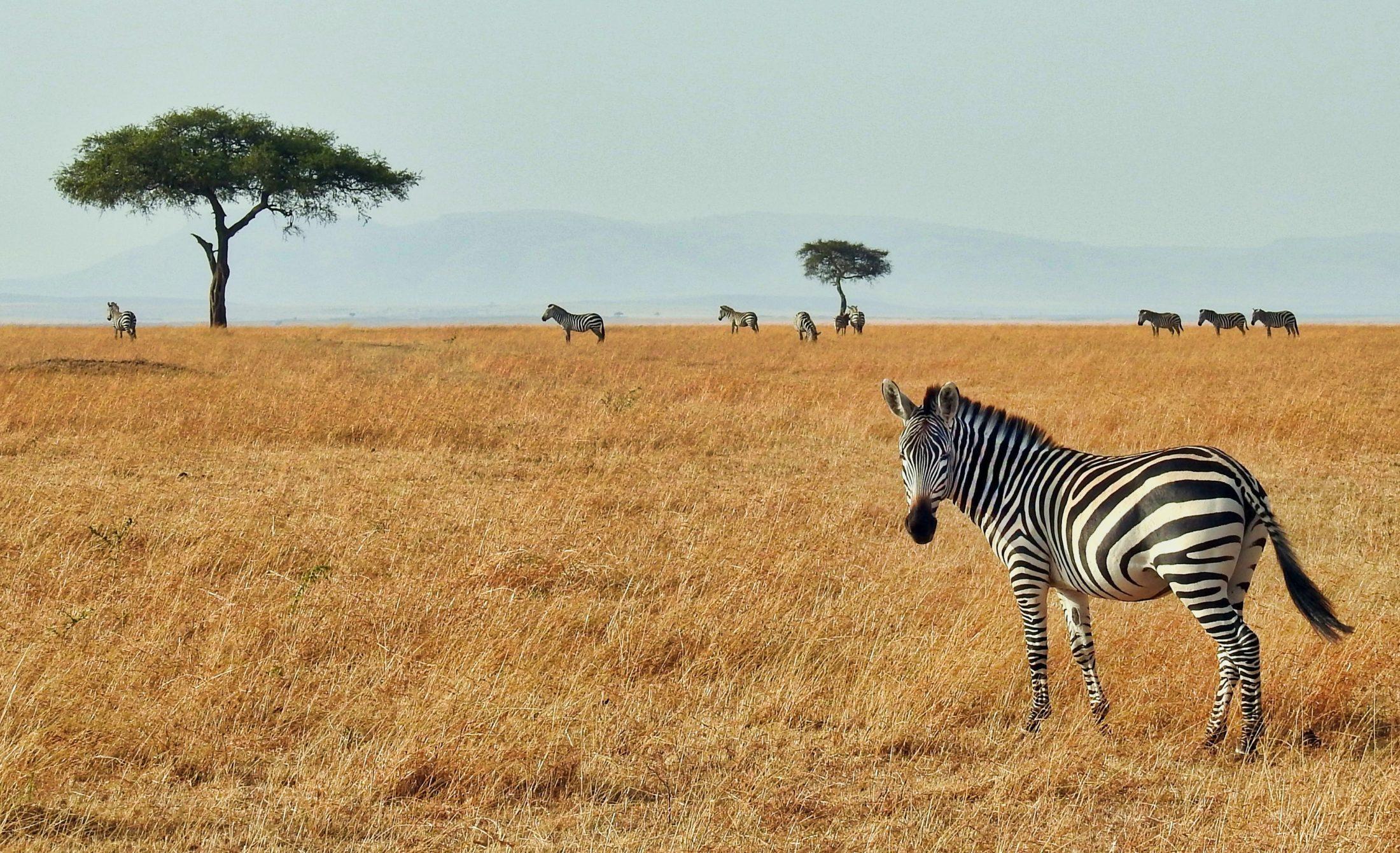 Sonhar com zebra livre é bom presságio.
