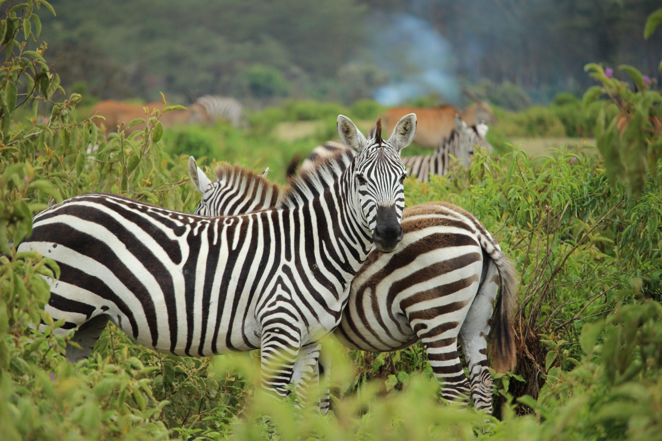 Sonhar com zebra fugindo é sinal de estar fugindo de problemas amorosos.