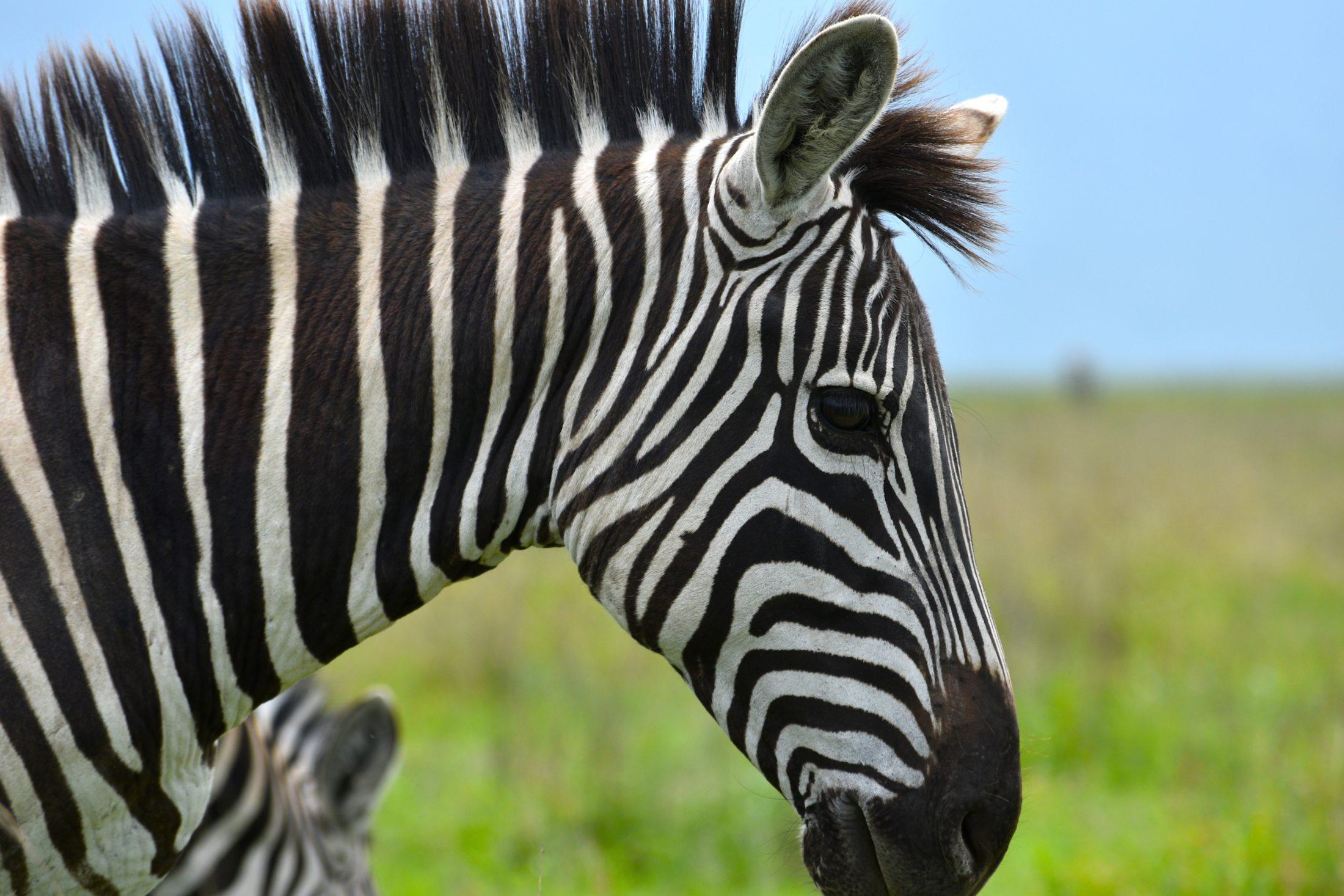 Sonhar que toca em uma zebra pode ser maus presságios.