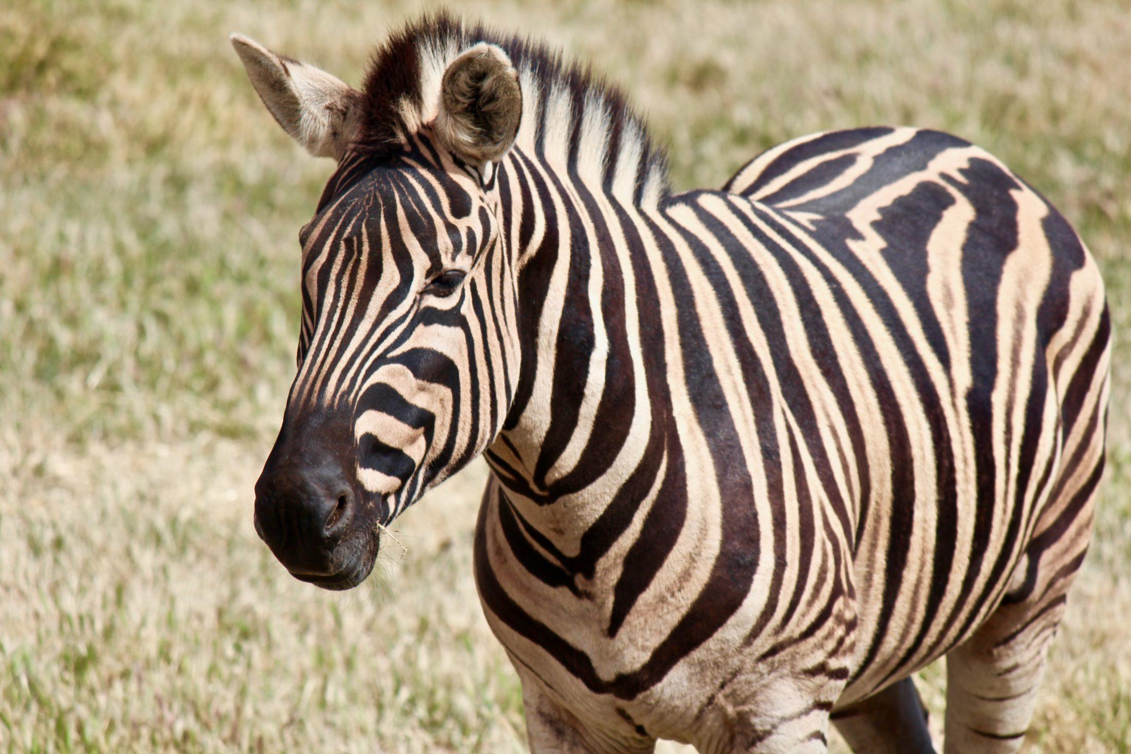 Sonhar com zebra presa ou enjaulada representa falsidade de amiga.