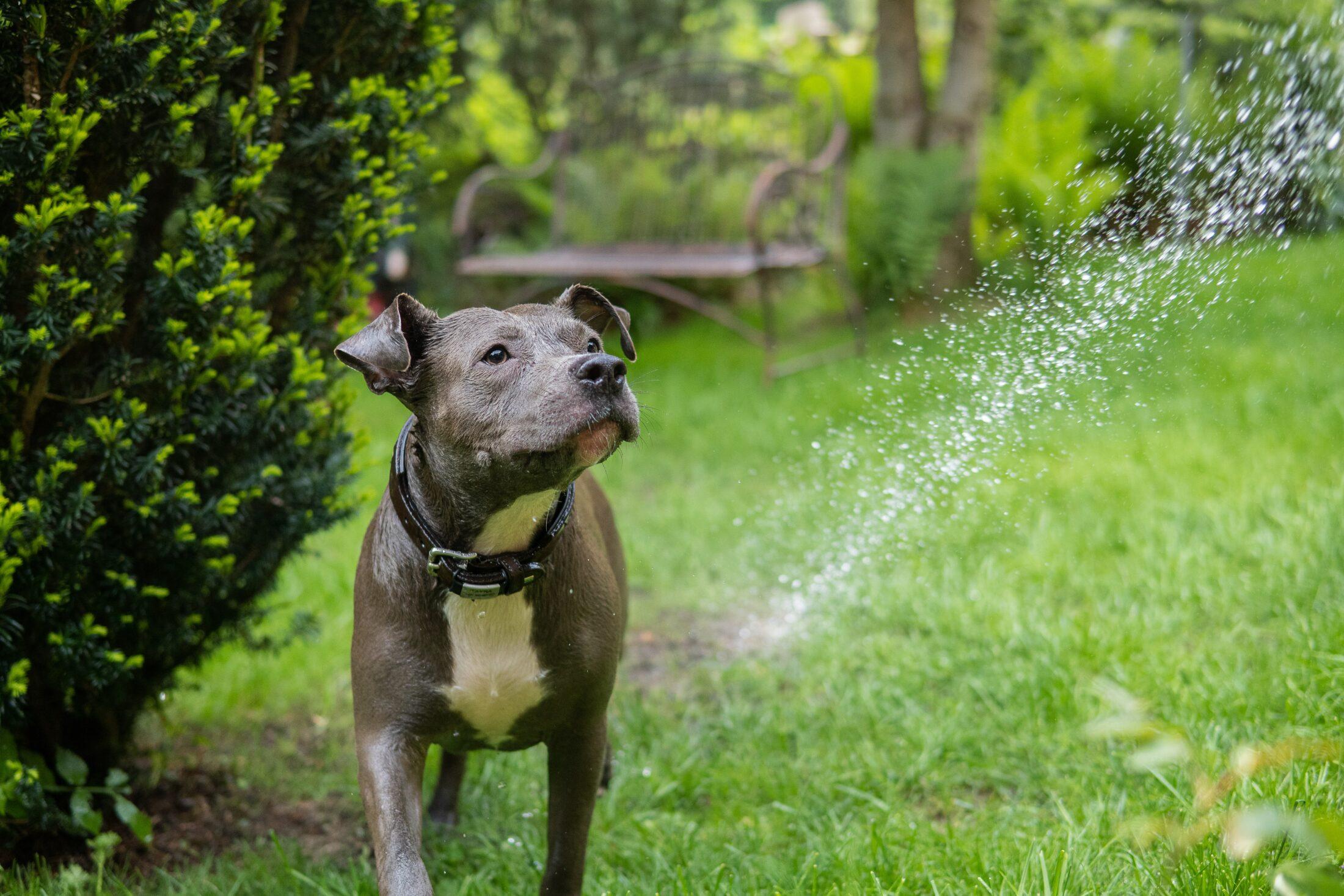 cachorro porte médio: staff terrier americano
