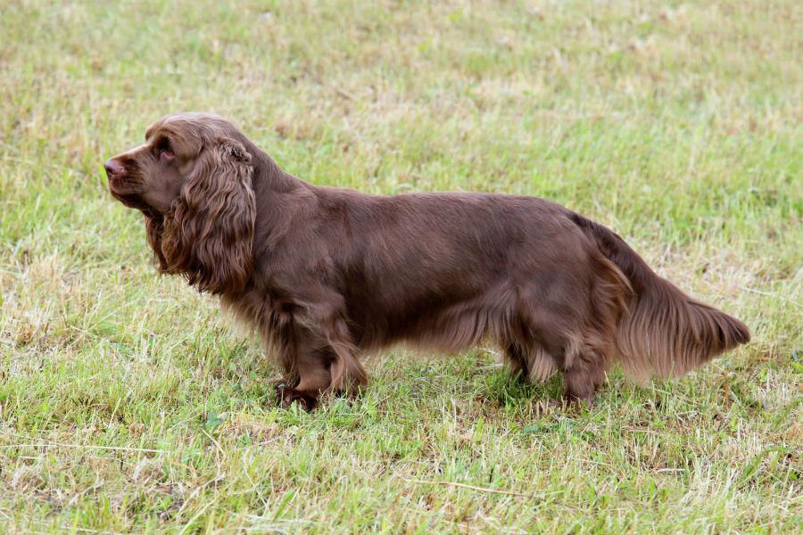 Cachorro pequeno: Sussex Spaniel no campo fazendo sua pose de apontador.