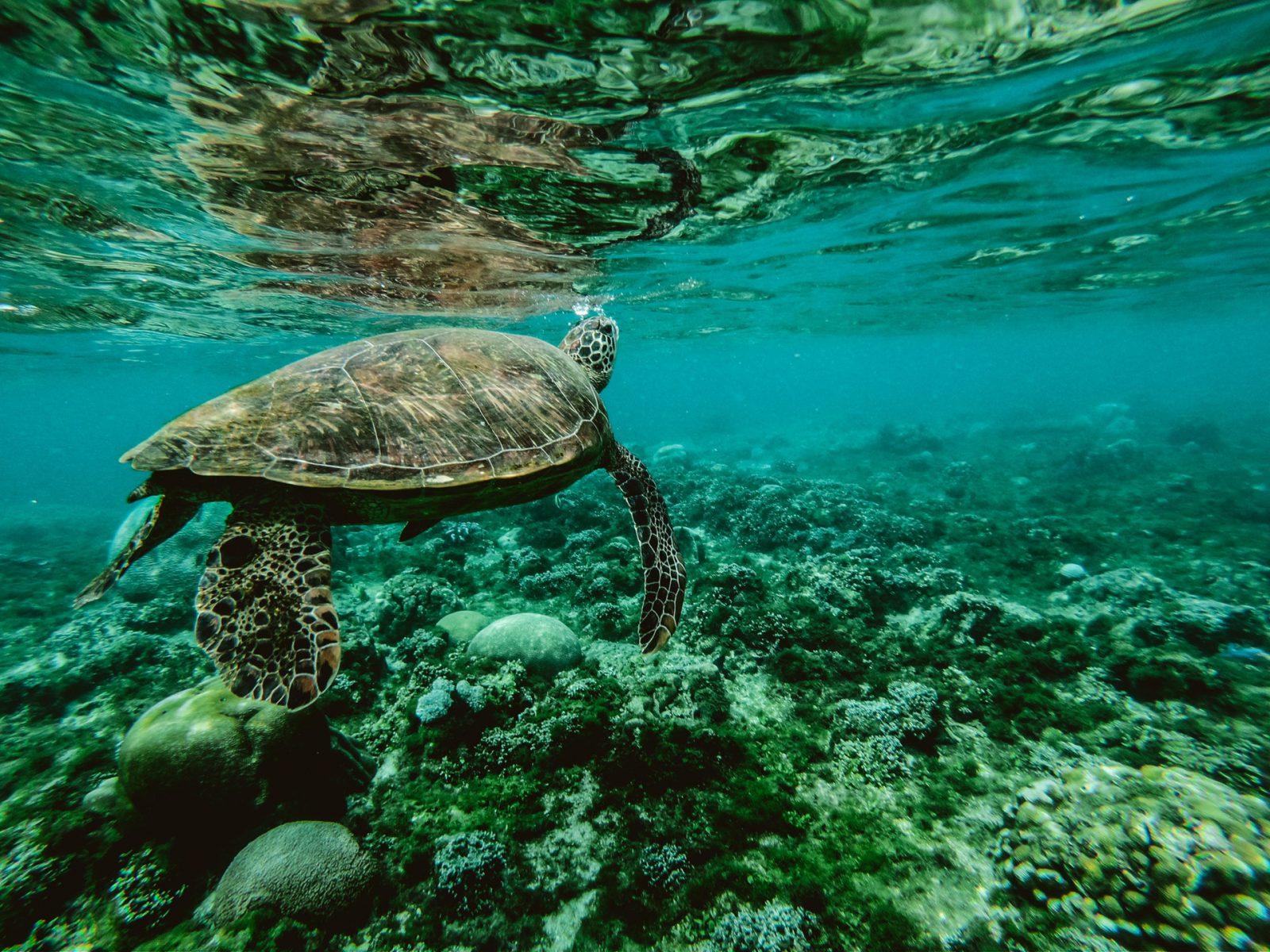 As tartarugas marinhas vivem nos oceanos em várias partes do mundo.
