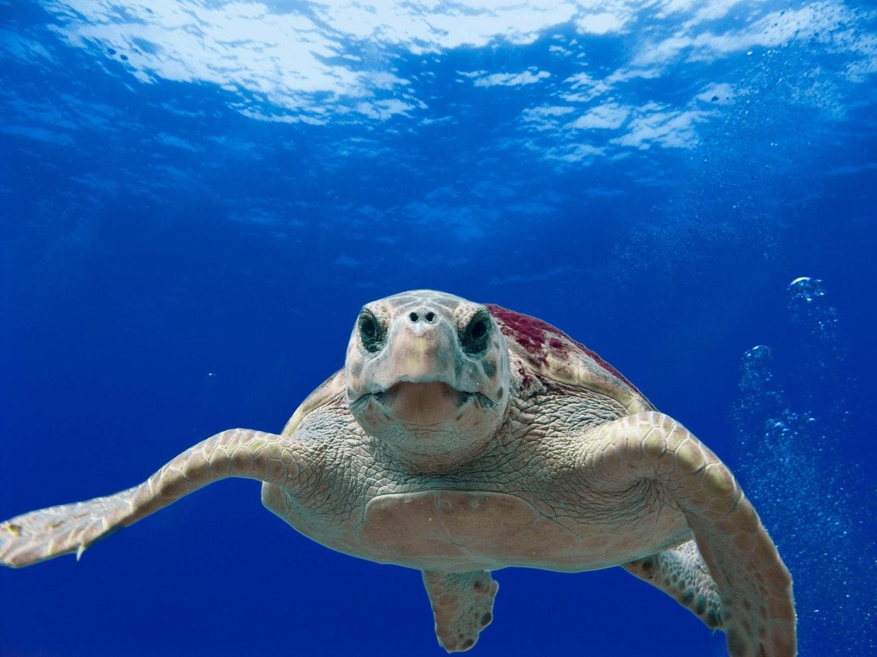 Quase não há diferenças entre machos e fêmeas de tartarugas marinhas.