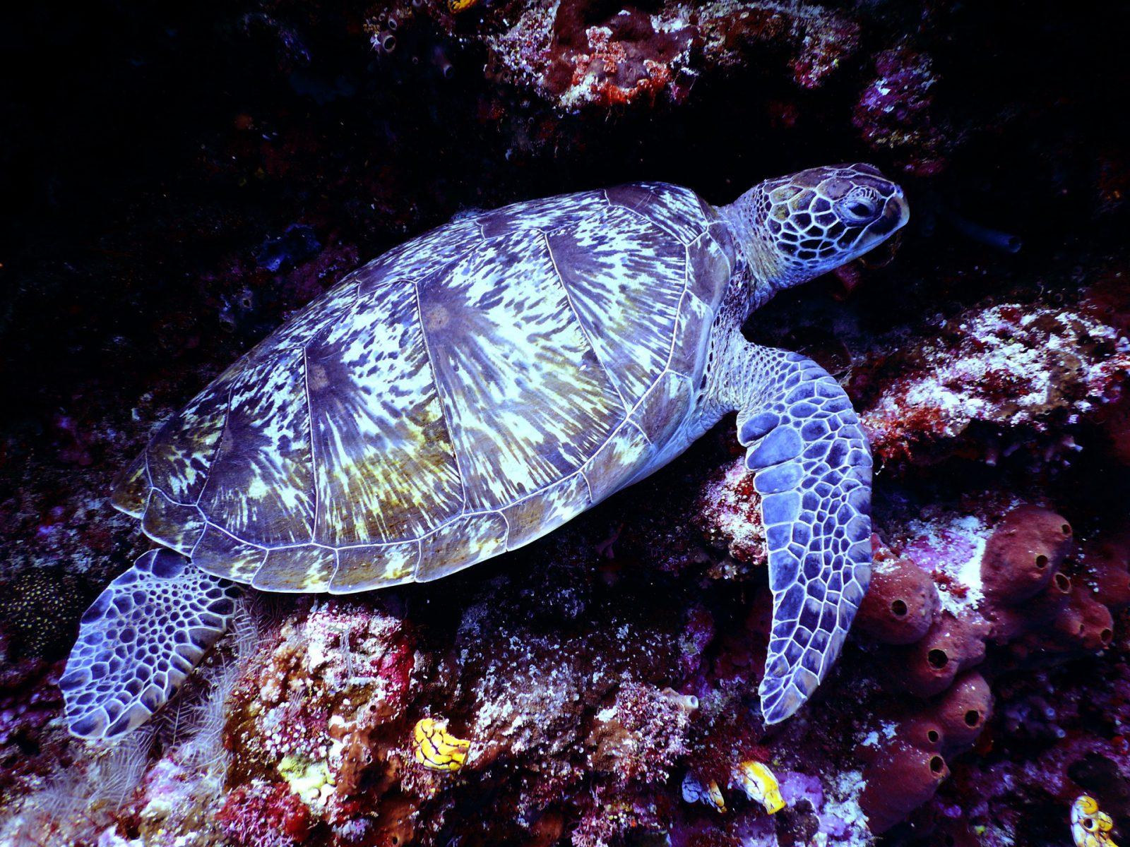 As tartarugas marinhas ficam protegidas pelo seu casco-conha.