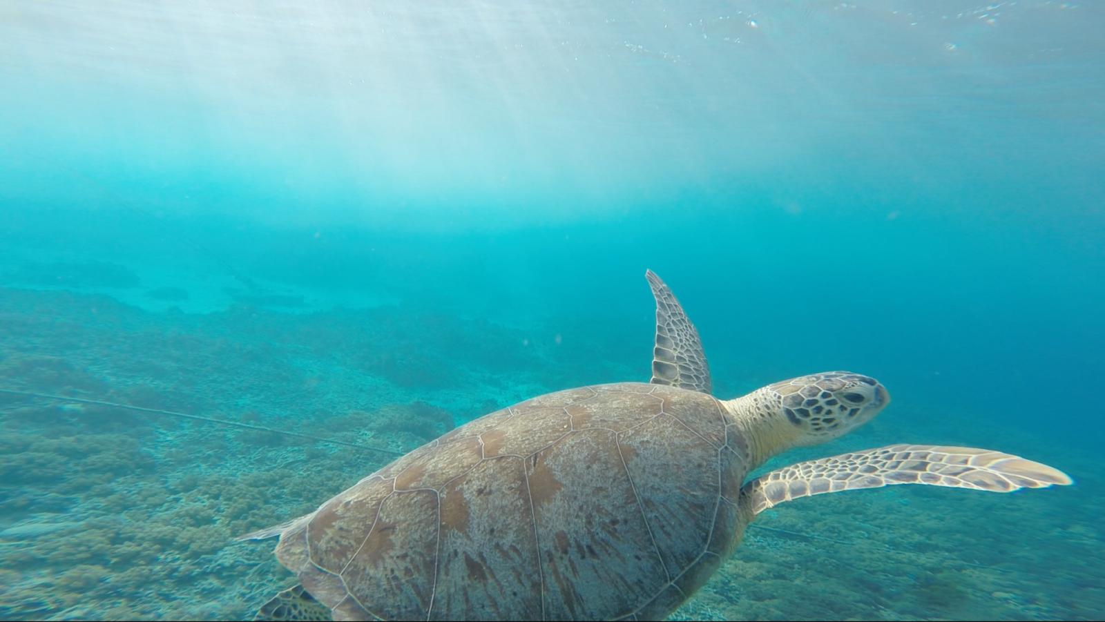 As tartarugas marinhas levam muito tempo para completarem o seu ciclo de reprodução.