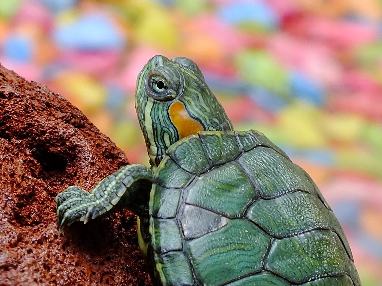 As tartarugas são animais incríveis e resistentes.