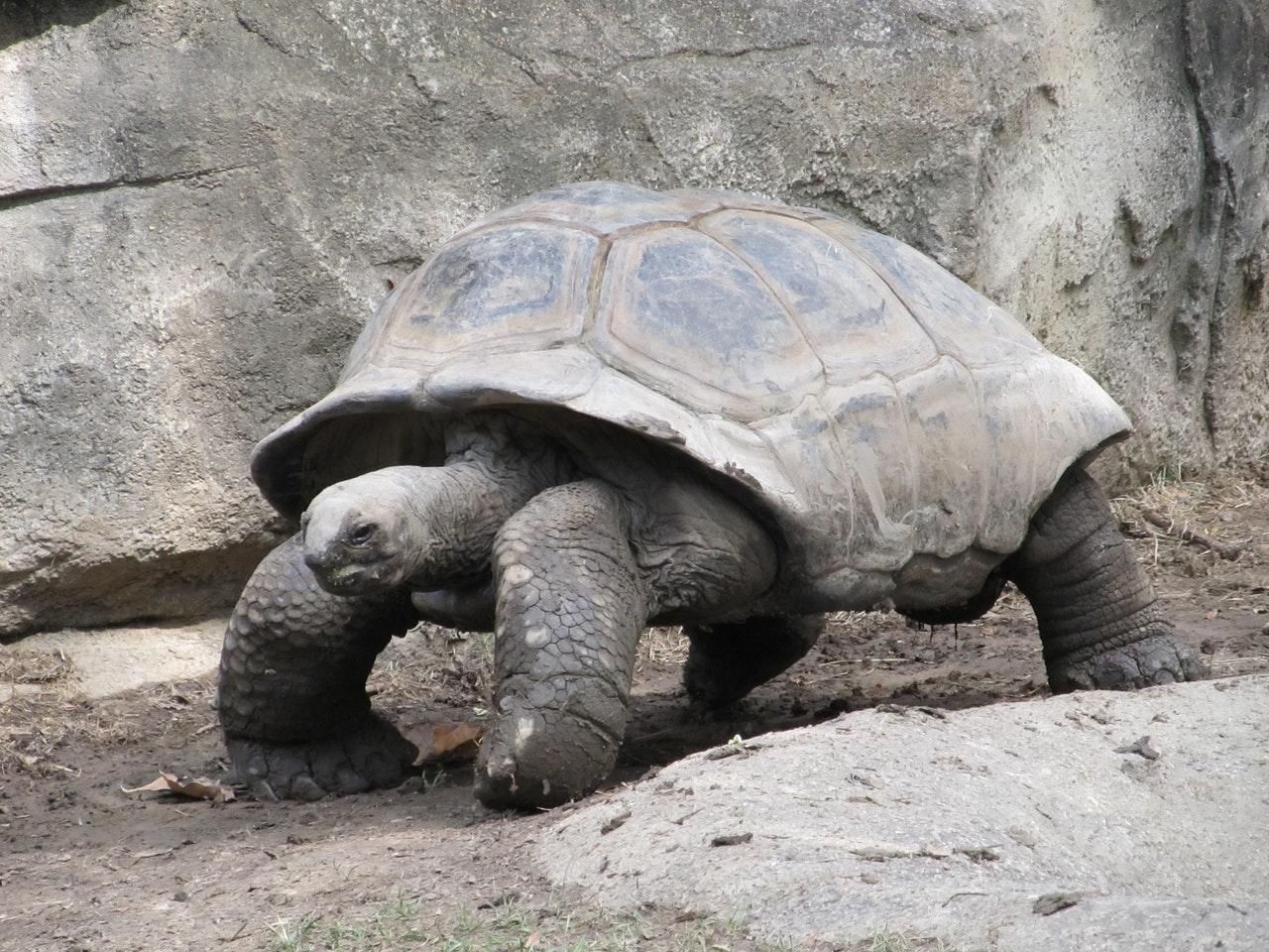 As tartarugas são animais lentos e calmos.