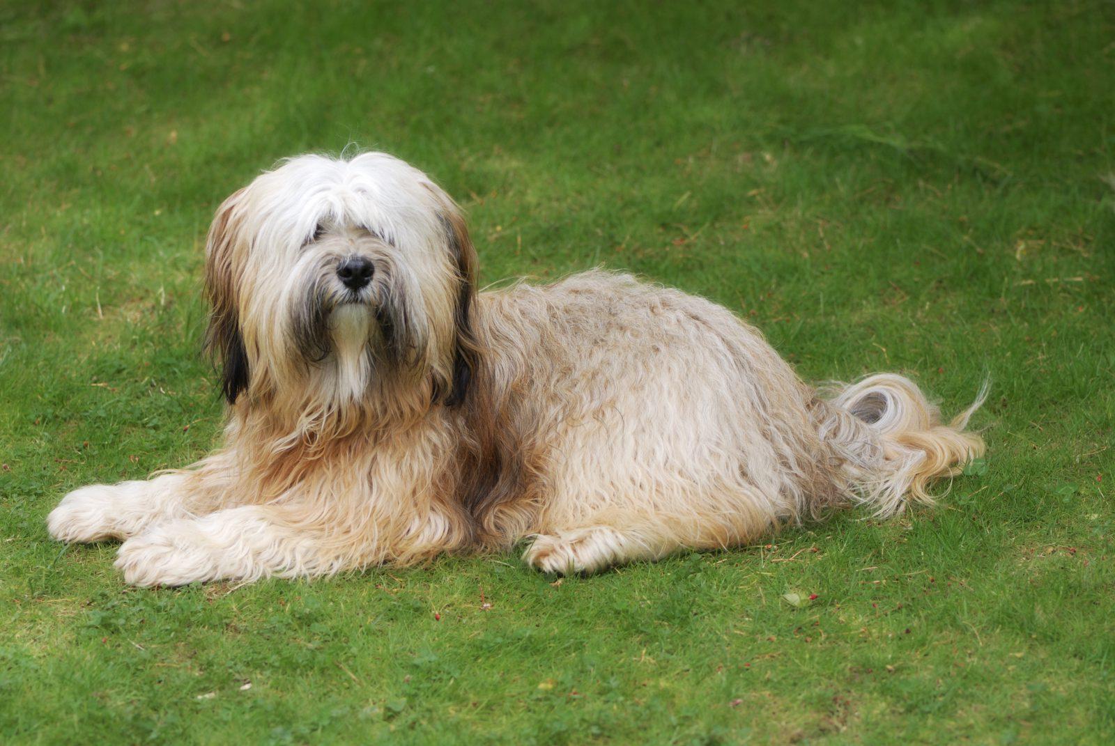 cao-terrier-tibetano-cuidados