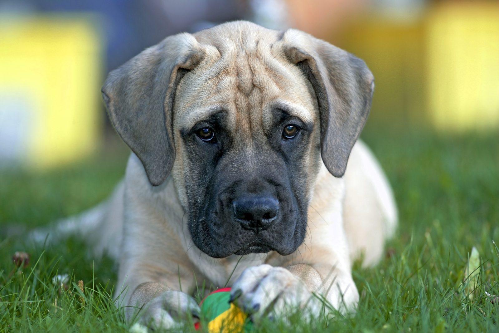 Filhote brincando com um dos seus tipos de brinquedos para cachorros favoritos na grama do quintal.