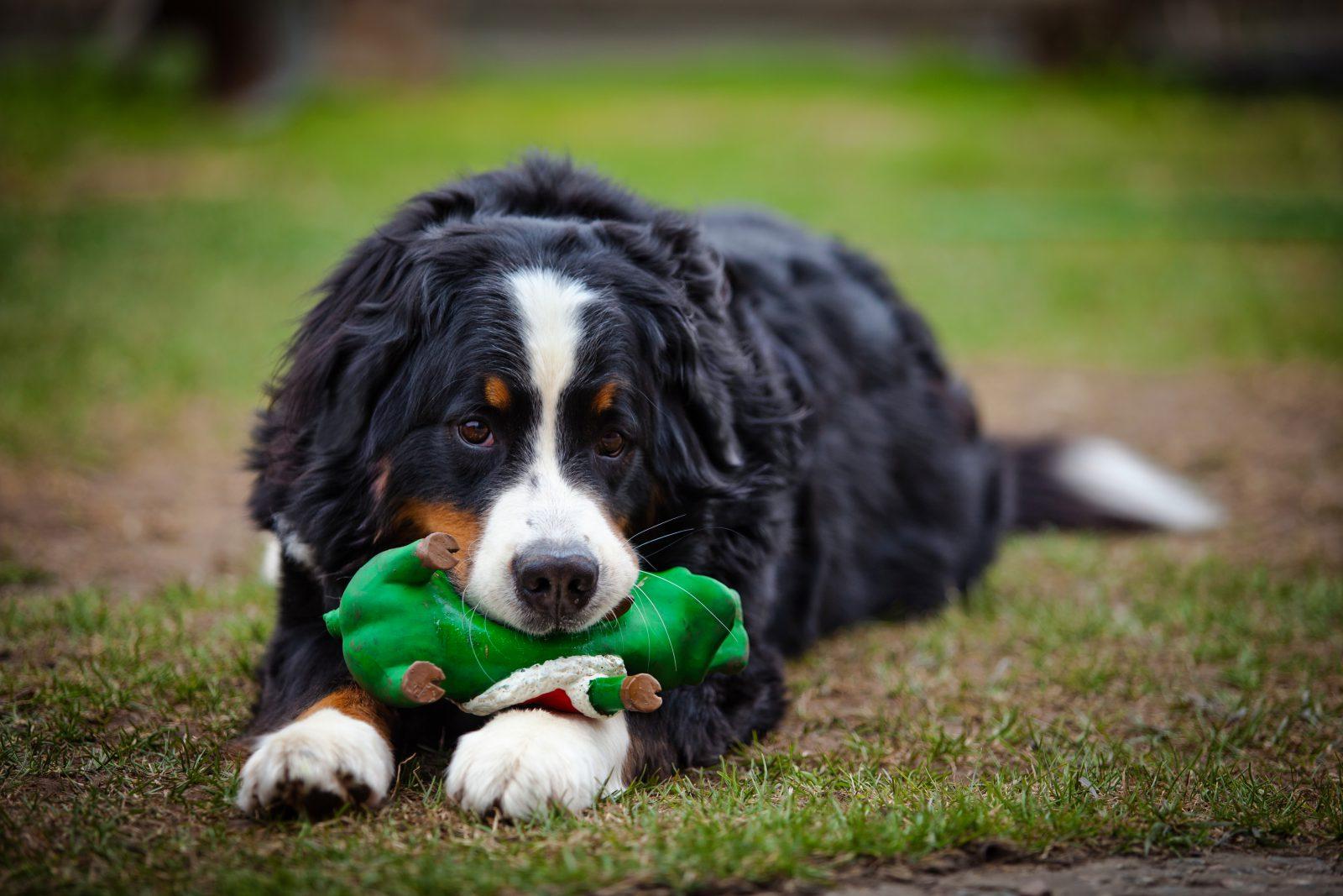 Brinquedos para cachorros: Cão de Berna agarrado ao seu brinquedo de borracha.