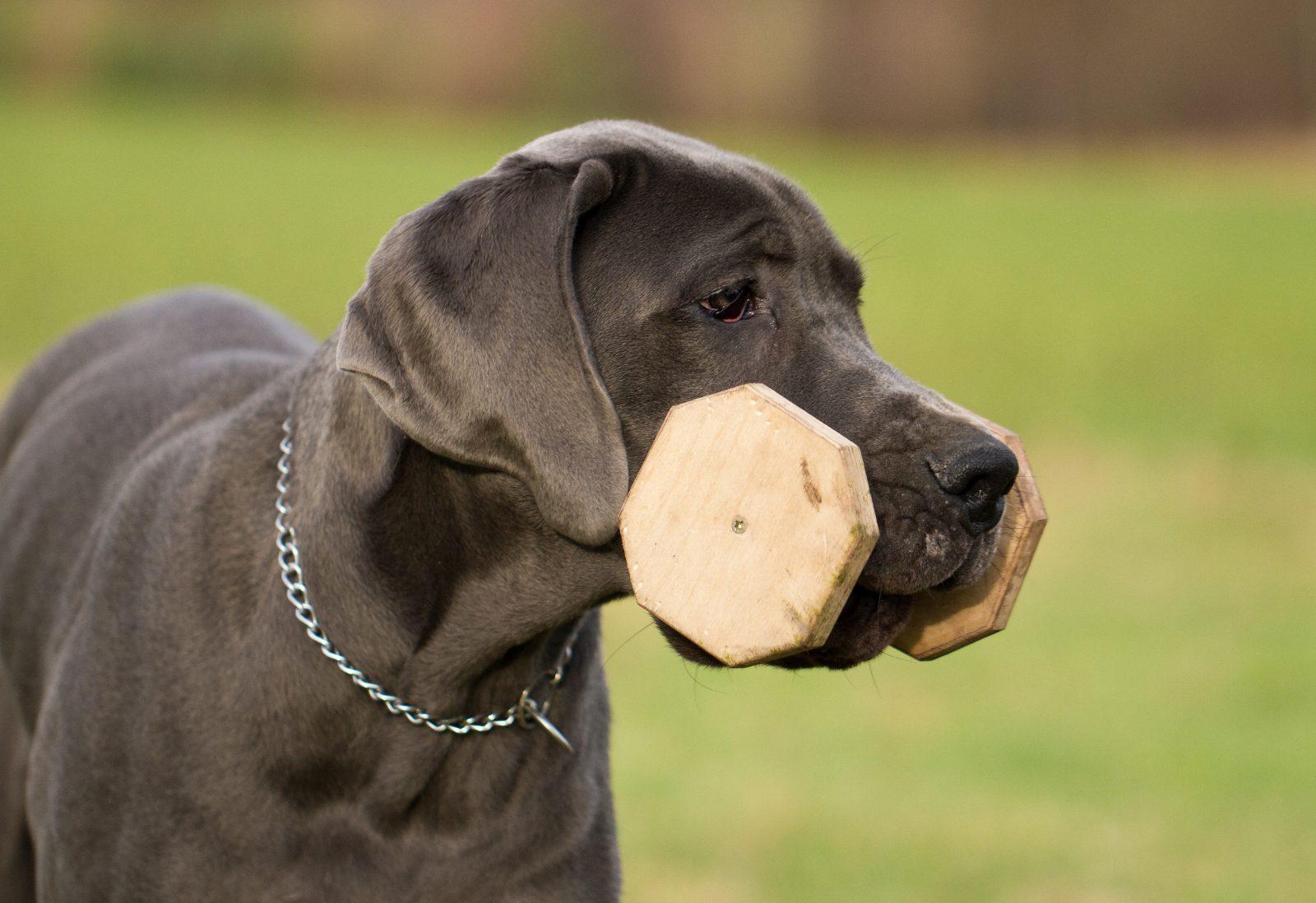 Tipos de Brinquedos para cachorros: Labrador com brinquedo de madeira na boca.
