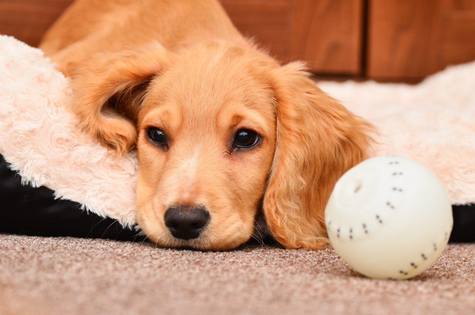 Tipos de Brinquedos para cachorros: Filhote de Cocker Spaniel  já cansado e entediado com a sua bola de beiseball.