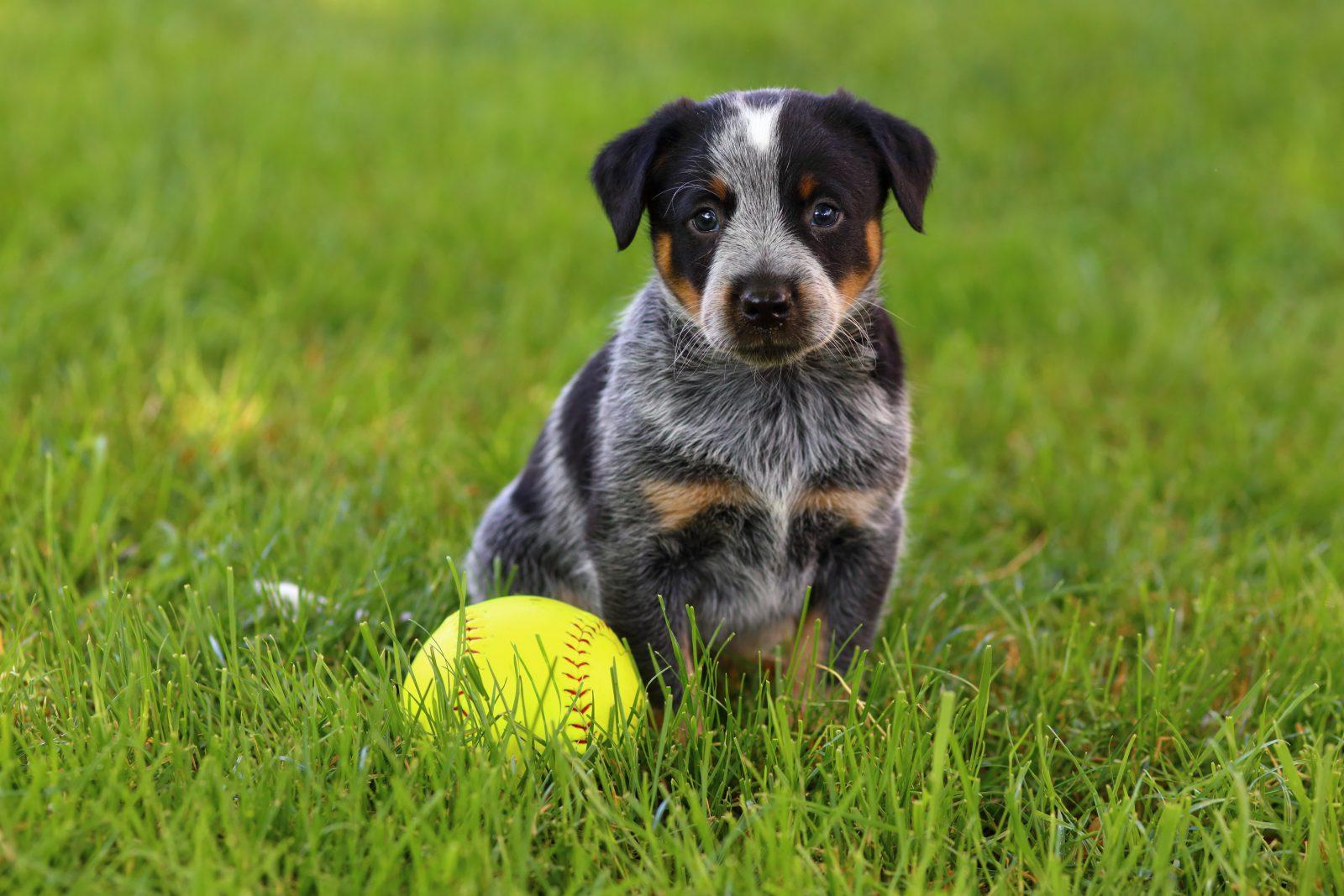 Tipos de Briqnuedos para cachorros: Filhote Blue Heeler Merle brincando com a sua bola no parque.