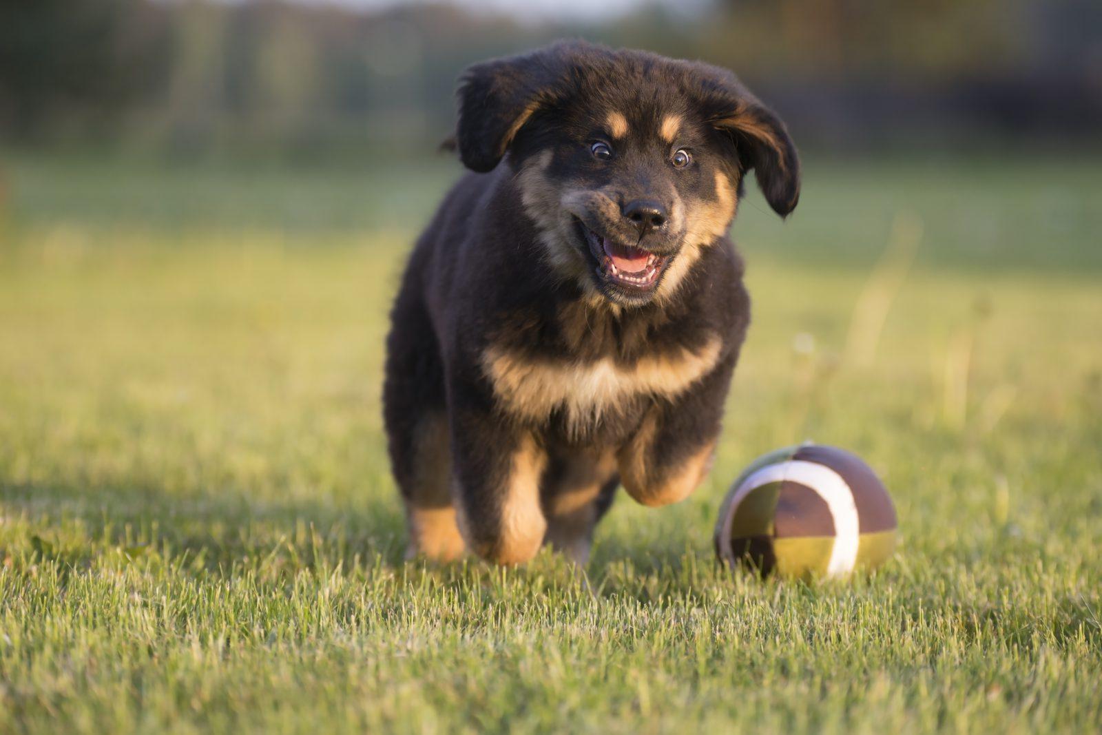 Tipos de Brinquedos para cachorros: Mastife Tibetando filhote correndo atrás de bola de rugby no gramado do parque.