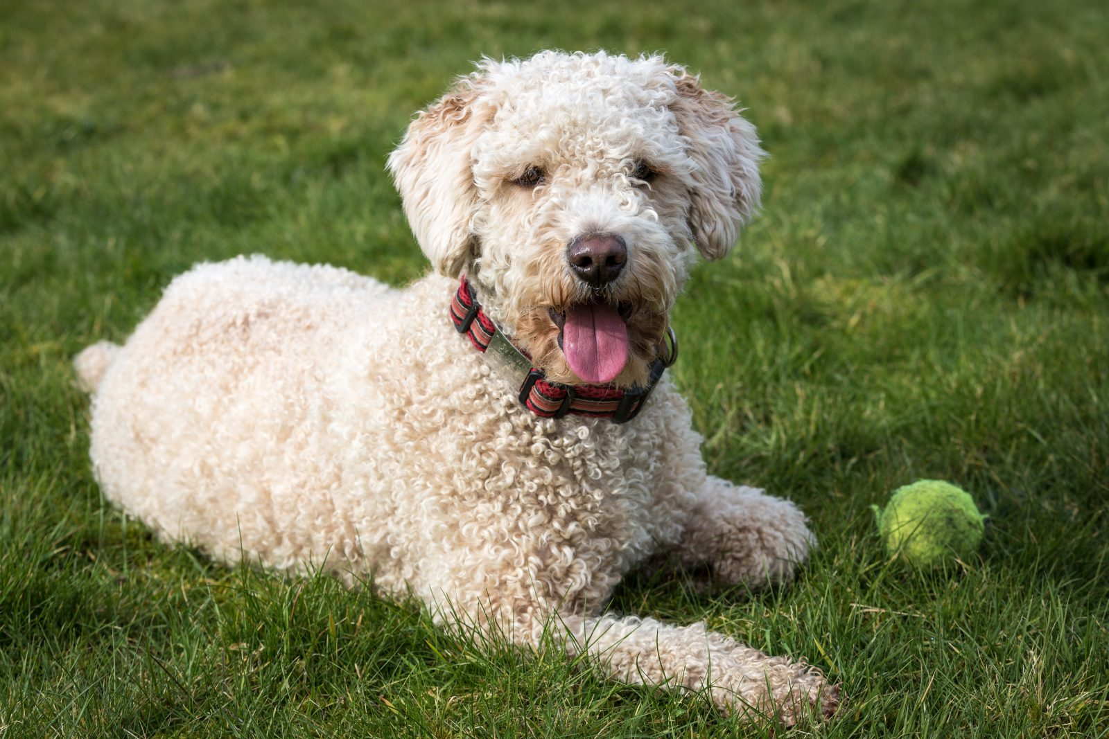 Tipos de Brinquedos para cachorros: Cão D'água espanhol brincando com uma bolinha de tênis preferida.