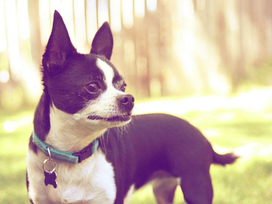Coleira para cachorro: cachorro usando coleira tradicional de liberação rápida em nylon