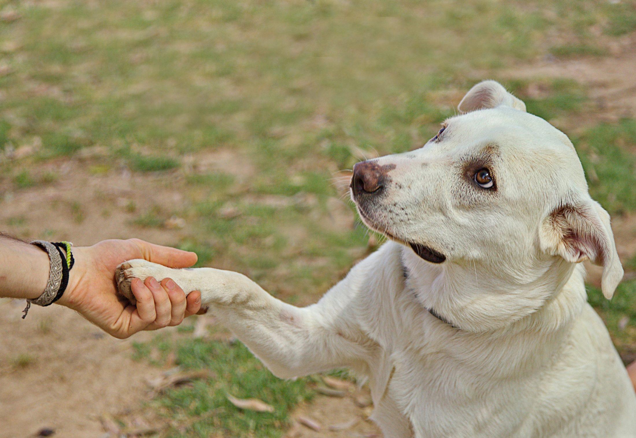 treinador de cachorro: labrador dando a pata ao tutor