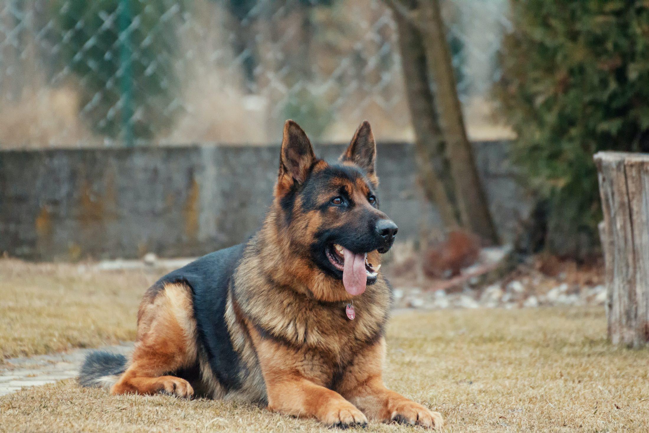 treinador de cachorro: pastro alemão deitado na grama do canil