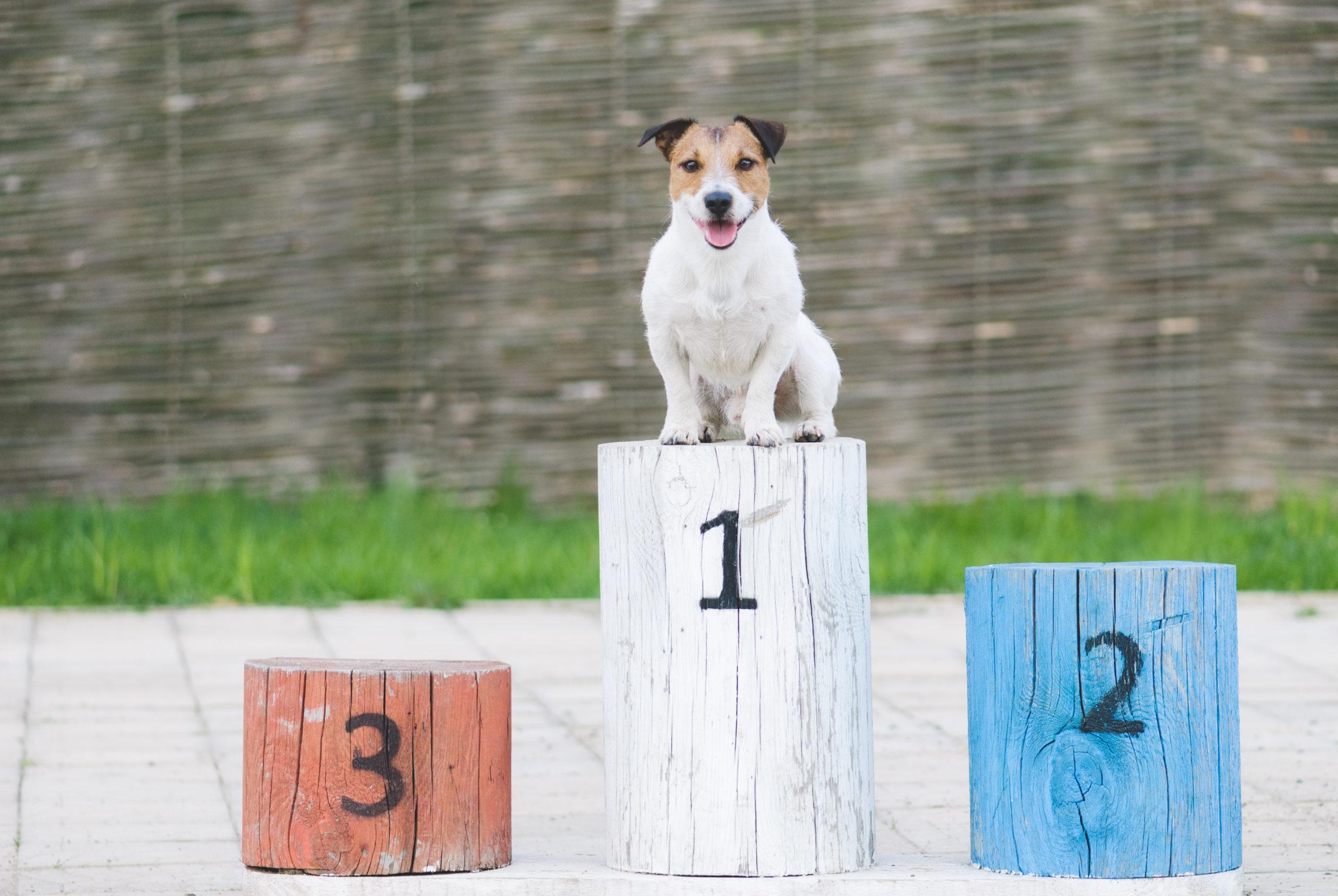 cachorro em podio de competição de agilidade