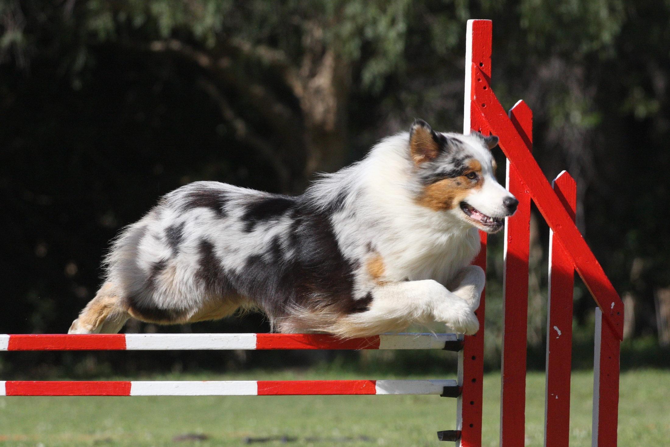 cachorro saltando obstáculo de agilidade