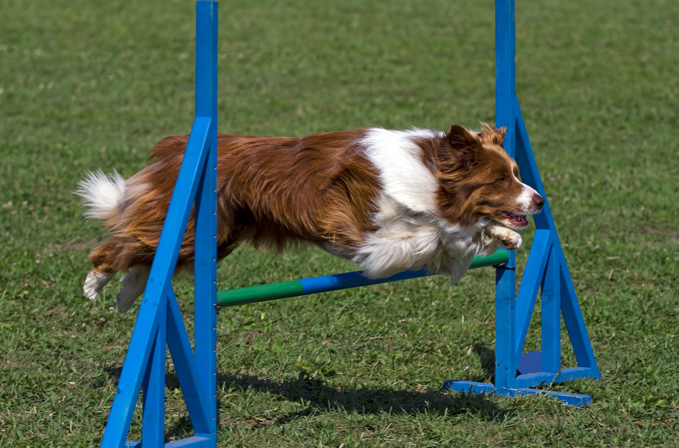 border collie saltando obstáculo emt reinamento de agilidade.