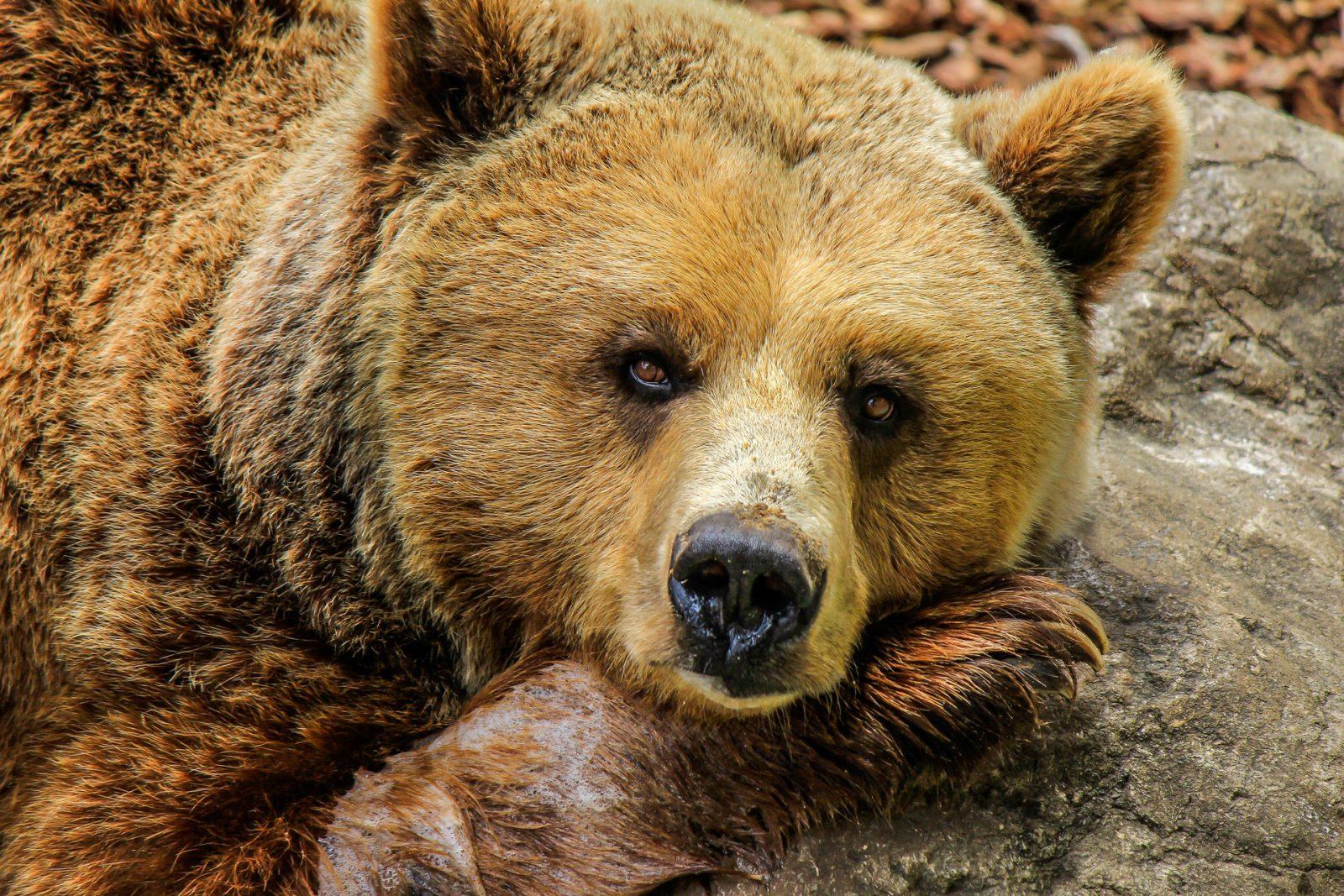 O urso pardo é uma animal onívoro, que se alimenta tanto de frutas e vegetais como de carne (vermelha e peixes).