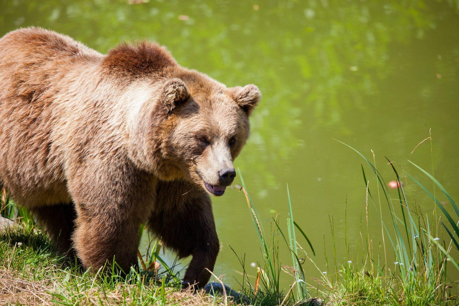 """Na verdade o popular """"Abominável urso das Neves"""", não passa de um urso pardo."""