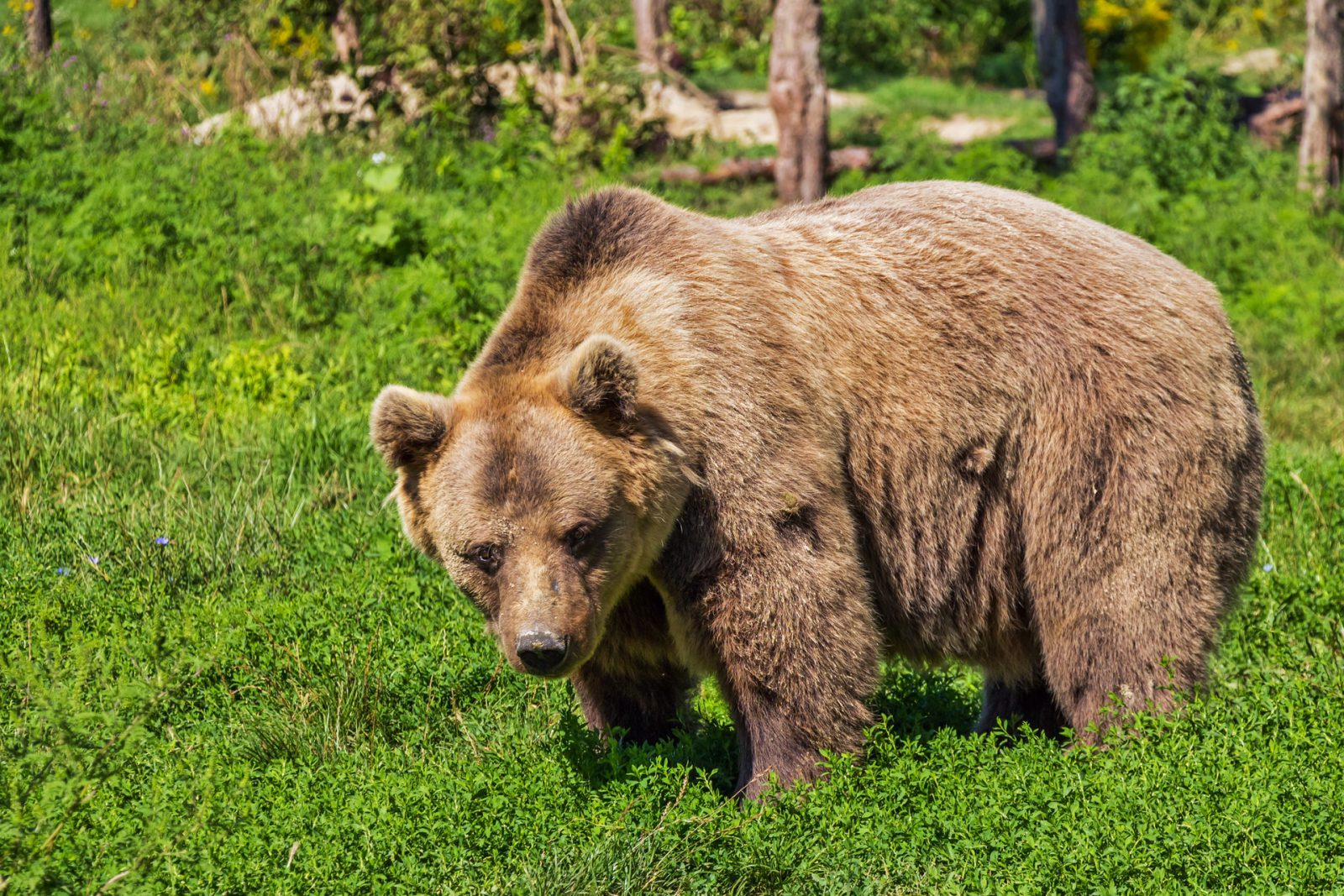O urso pardo é uma das maiores espécies de ursos que existe.