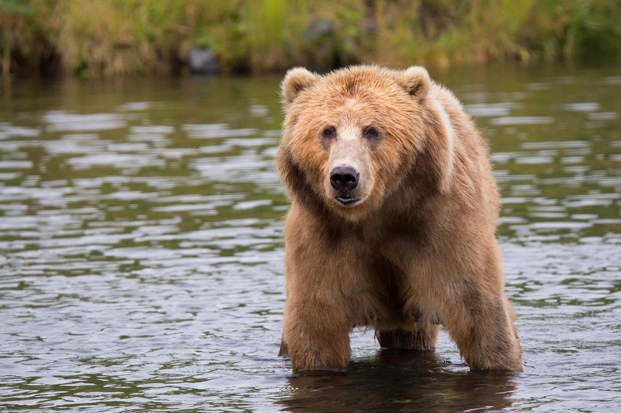 Existem algumas subespécies de urso pardo.