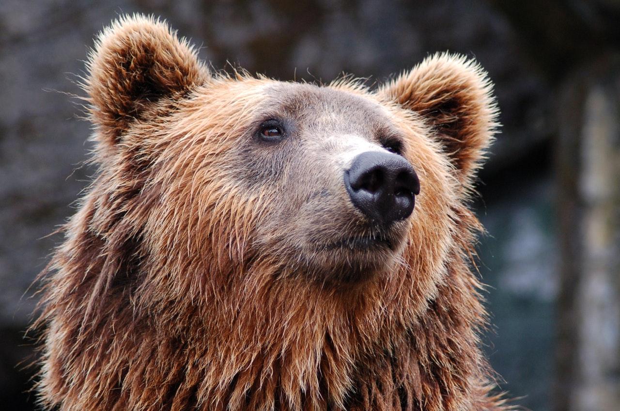 O urso pardo pode chegar a 3 m de altura e pesar 250kg.