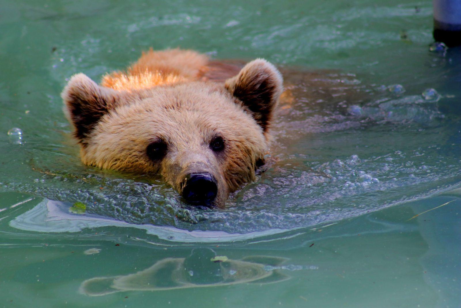O urso pardo vivem em bandos e adora nadar.