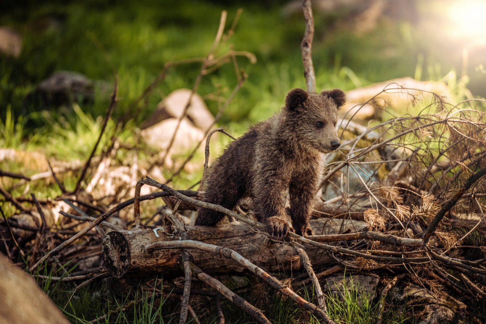 O urso pardo pode se reproduzir a aprtir dos 3 anos de idade e ter 4 filhotes.