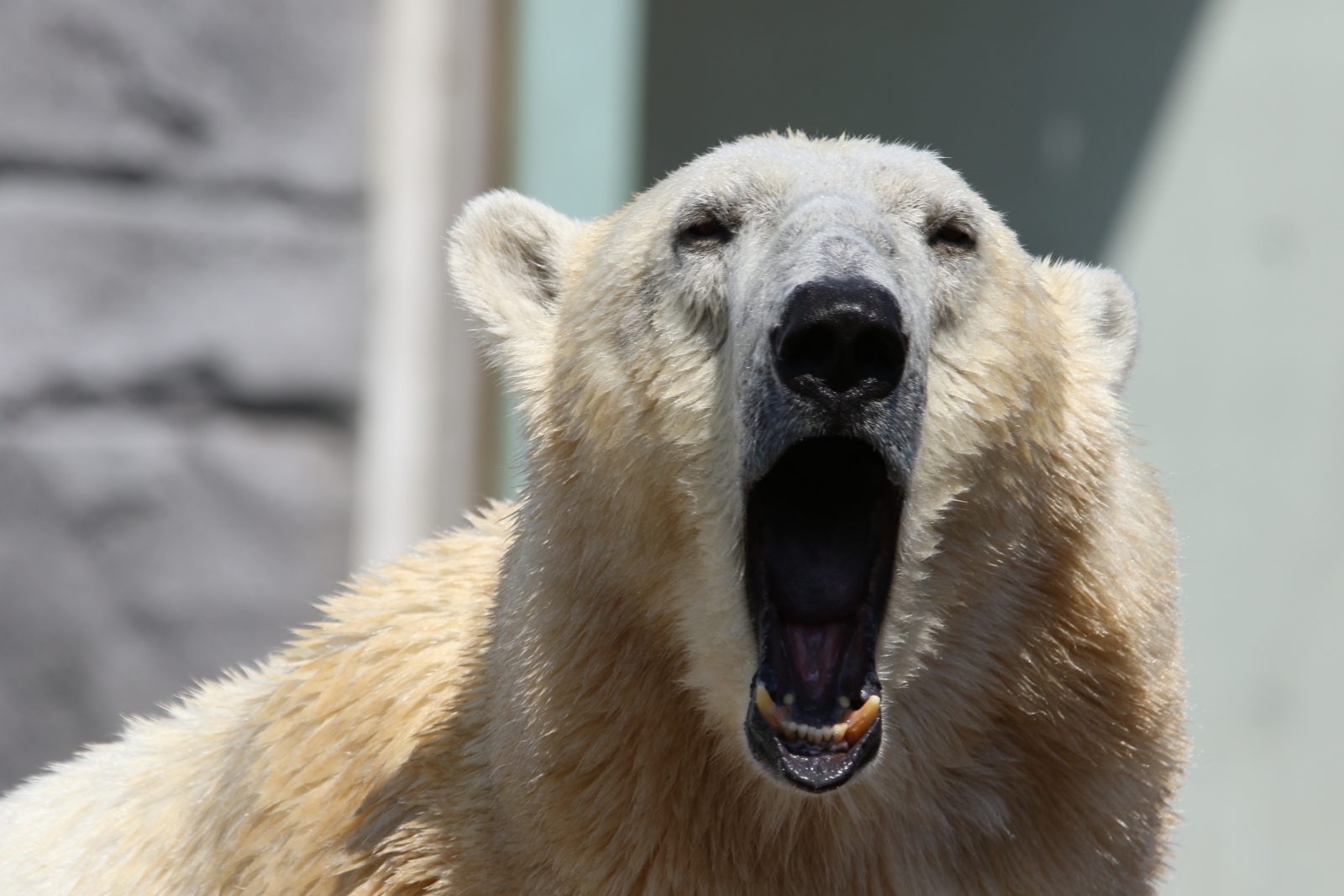 A pelagem branca do urso polar é perfeita para o seu meio ambiente.