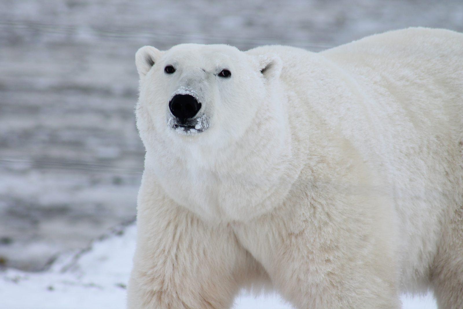 O urso polar tem uma taxa reprodutuva baixa.