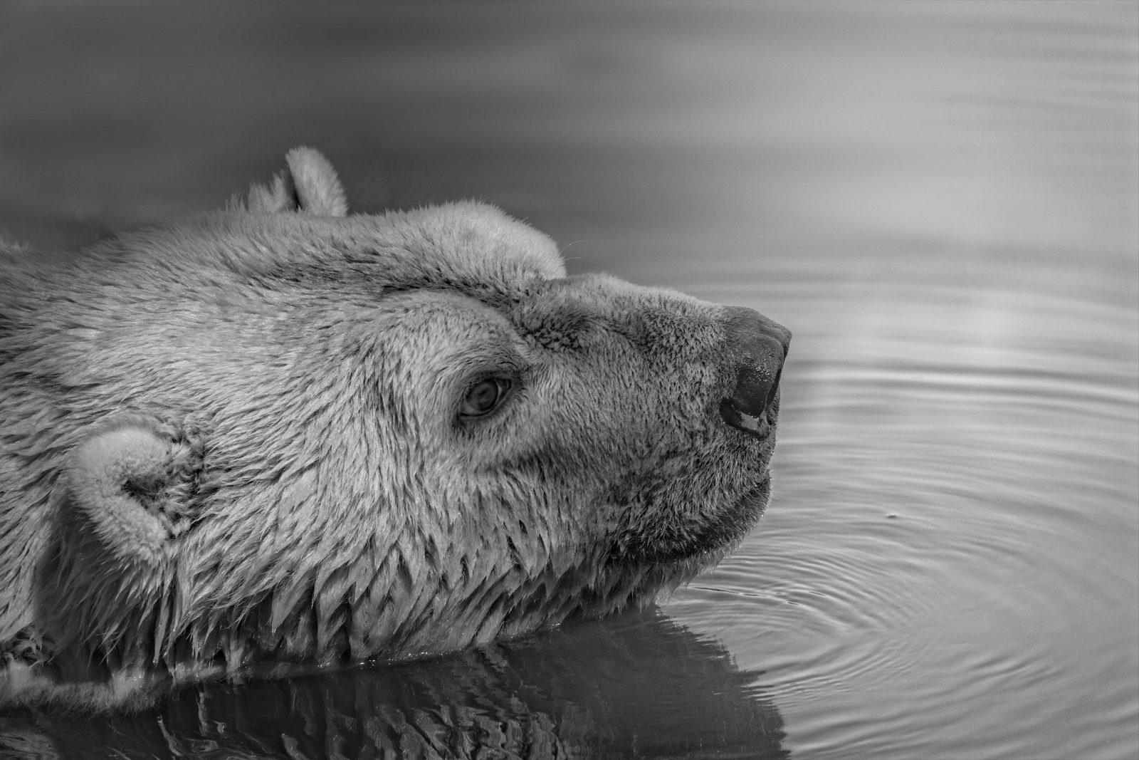 O urso polar precisa ser preservado.