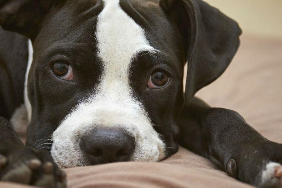 Cachorro Pitbull: Filhote de Pitbull deitado na almofada.