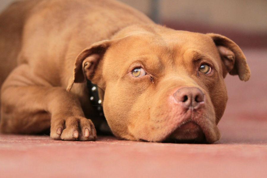 Cachorro Pitbull: Pit Bull Terrier Americano vermelho deitado.