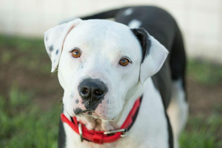 Cachorro Pitbull: Pit Bull americano branco e preto
