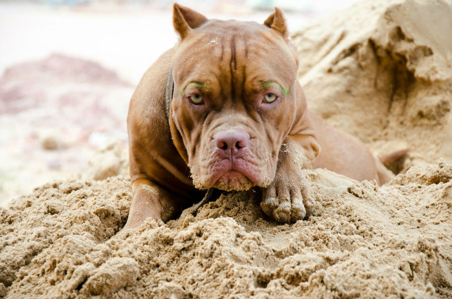 Cachorro Pitbull: Pit Bull americano tigrado deitado na areia da praia.