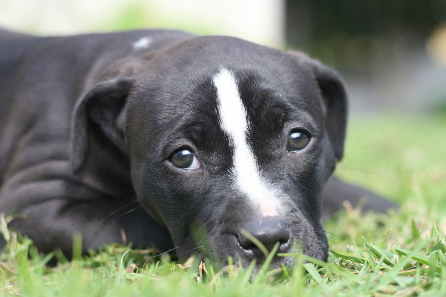 Cachorro Pitbull: Pit Bull americano branco e preto deitado na grama