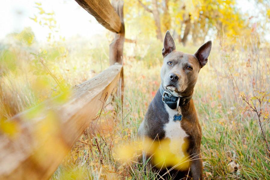 Cachorro Pitbull: Pit Bull Americano tigrado na fazenda.
